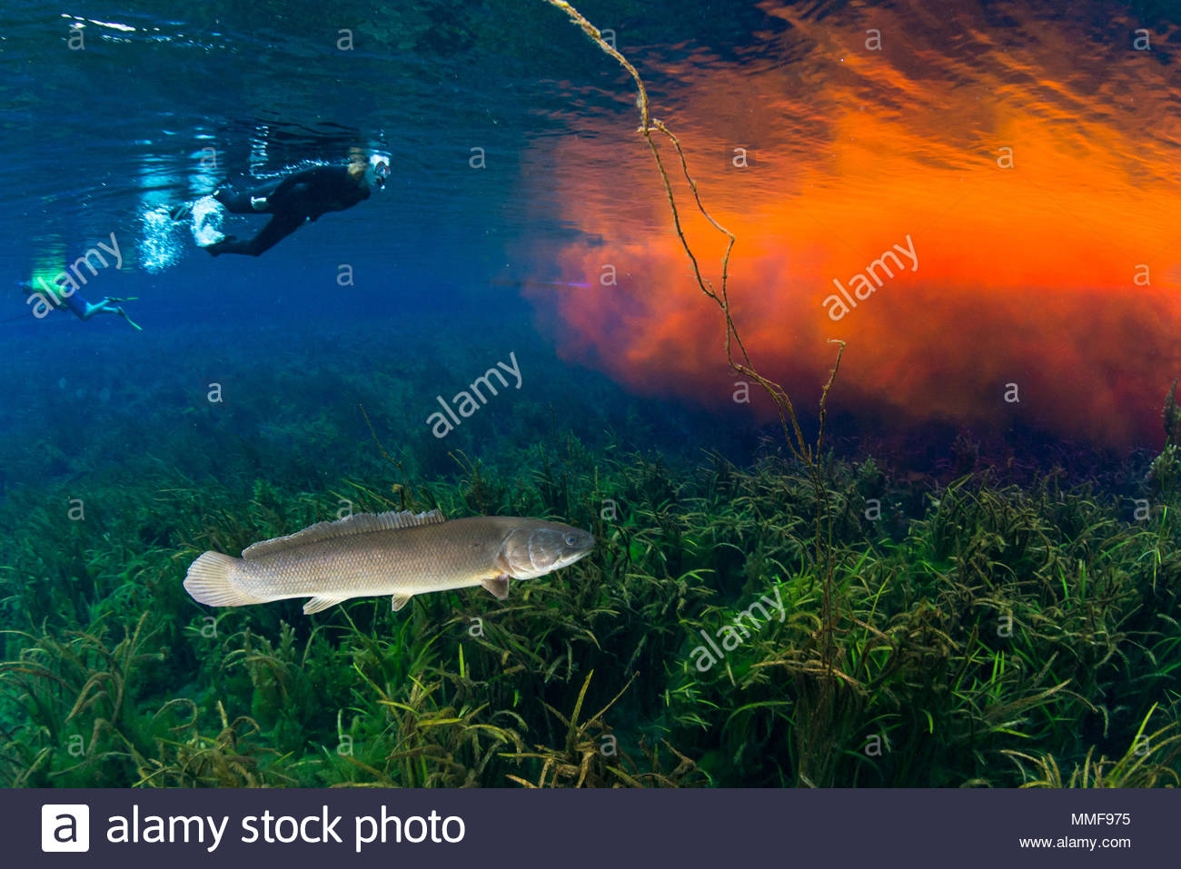 A bowfin, Amia calva, and a snorkeler swim near Rhodamine WT dye as it moves down the Silver River during a scientific study. - Stock Image