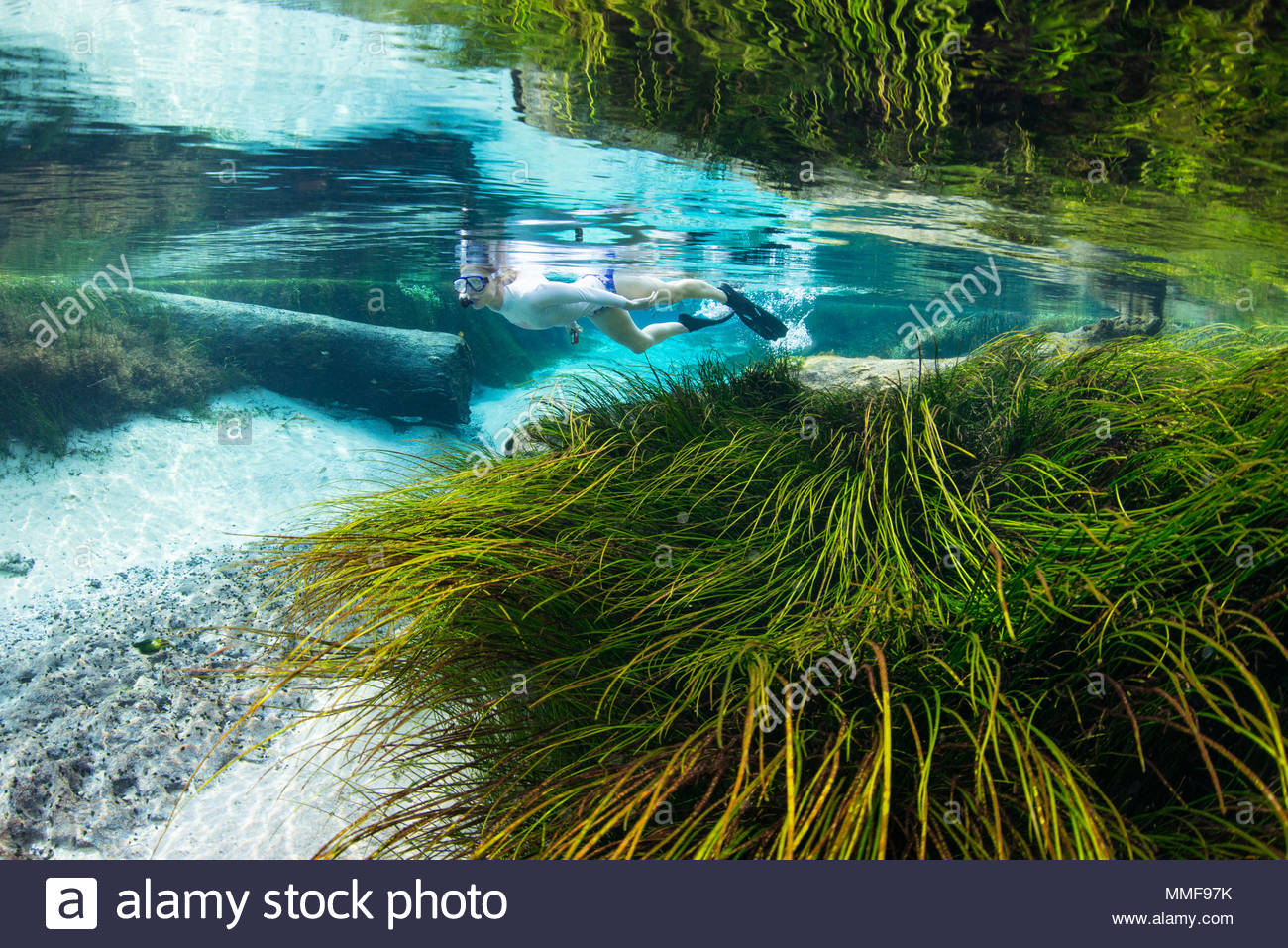 A woman snorkels in the freshwater spring run at Blue Spring as underwater grasses swirl in the strong current. - Stock Image