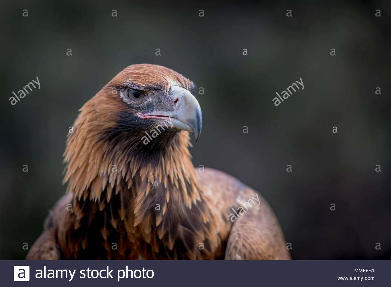 Portrait of the Australian wedge-tailed eagle, Aquila audax. - Stock Image