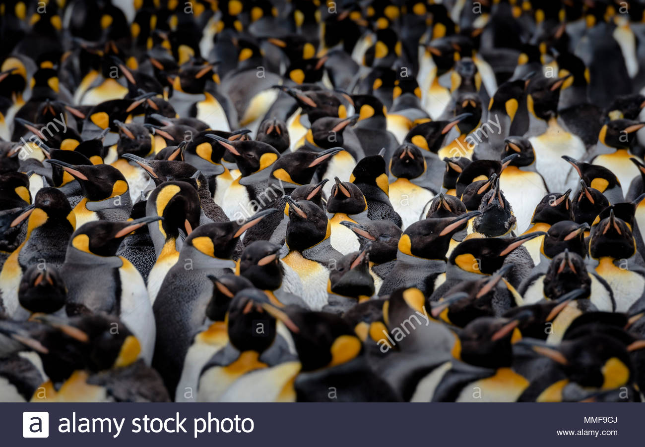A colony of King penguins, Aptenodytes patagonicus, in summer. - Stock Image