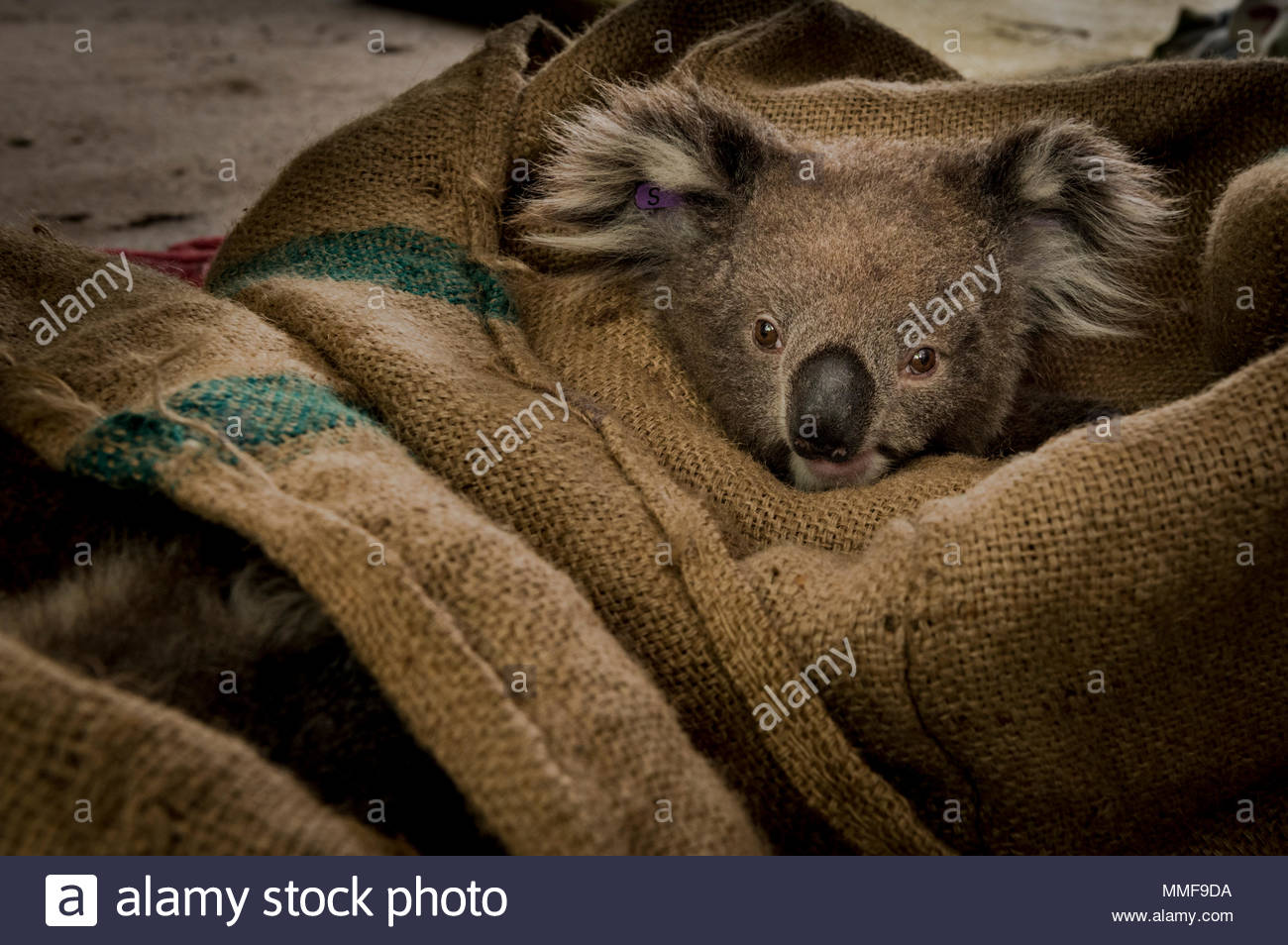 A koala, Phascolarctos cinereus, is kept warm in a hessian sack after receiving a health check. - Stock Image