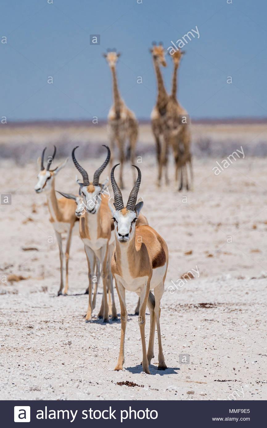 Angolan giraffes, Giraffa giraffa angolensis, and Springboks, Antidorcas marsupialis, approach a waterhole. - Stock Image