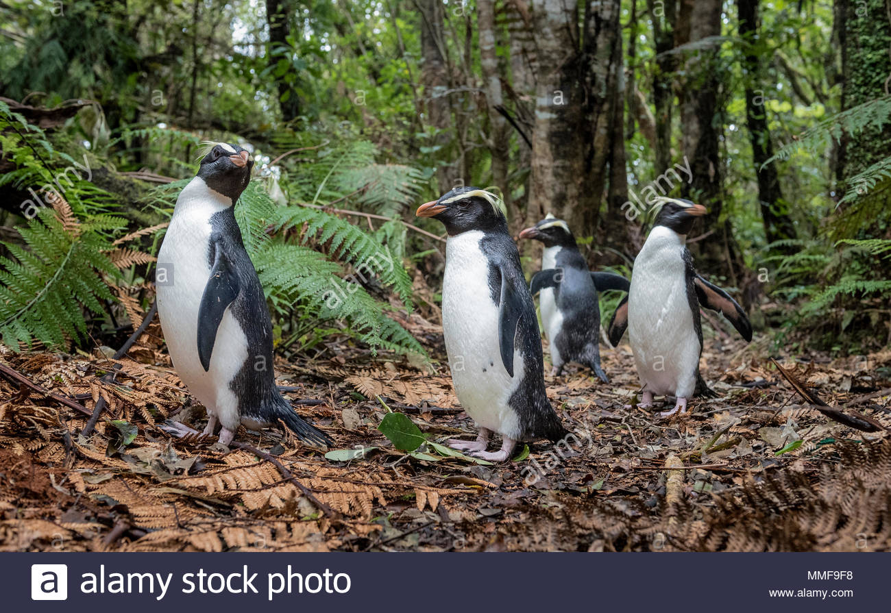 Fiordland penguins, Eudyptes pachyrhynchus, returning home to their burrows along a forest path. Stock Photo