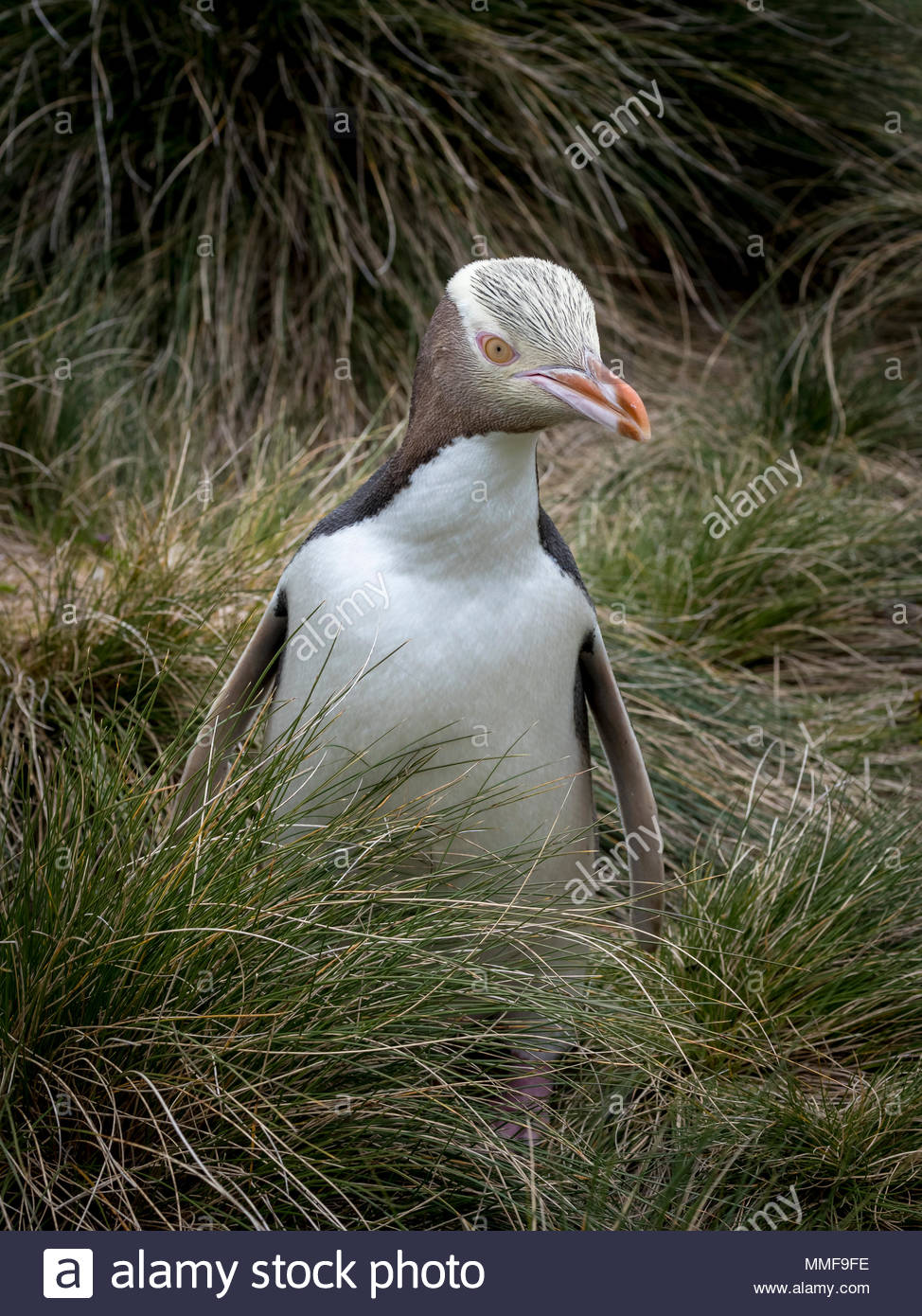 An endangered yellow-eyed penguin, Megadyptes antipodes, emerges from the grasses. Stock Photo
