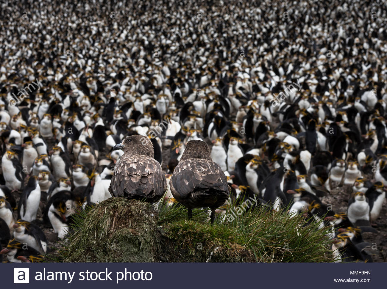 Two Brown skuas, Stercorarius antarcticus, watch a colony of Royal penguins, Eudyptes schlegeli. - Stock Image