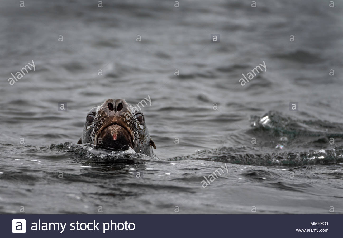 A Hooker's sea lion, Phocarctos hookeri, swimming with head above the water. Stock Photo