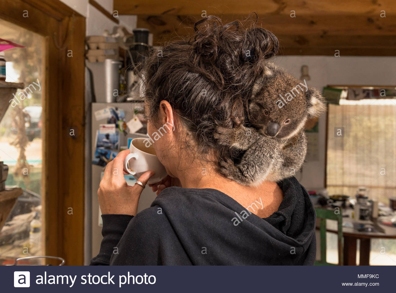 A Veterinary nurse drinks coffee while a baby koala, Phascolarctos cinereus, hangs from her hair. - Stock Image