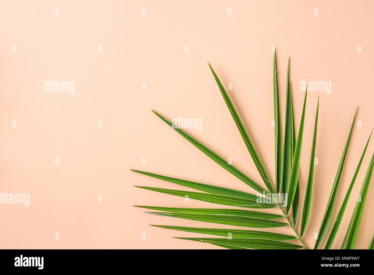 Spiky Feathery Green Palm Leaf on Pink Peachy Wall Background. Room Plant Interior Decoration Organic Cosmetics Spa Wellness Fashion Concept. Pastel C - Stock Image