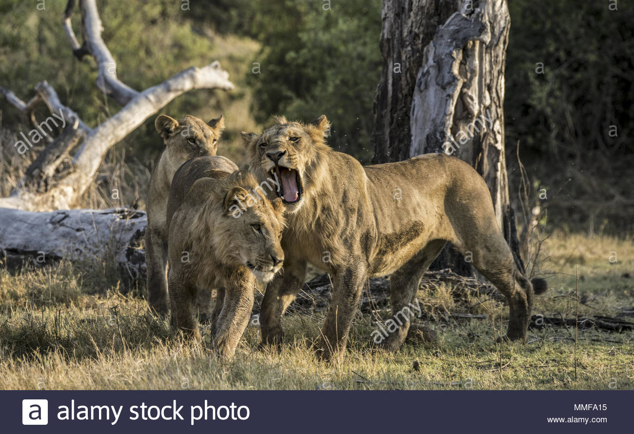 An adolescent male Lion, Panthera leo, growls playfully at his brother. - Stock Image