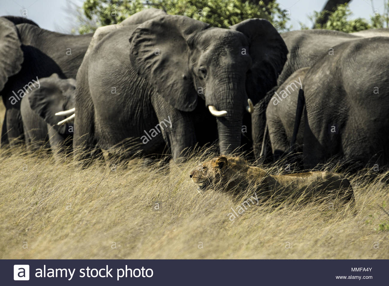 A herd of Elephant, Loxodonta africana, chase a pride of lions, Panthera leo, away from a carcass they were feeding on. - Stock Image