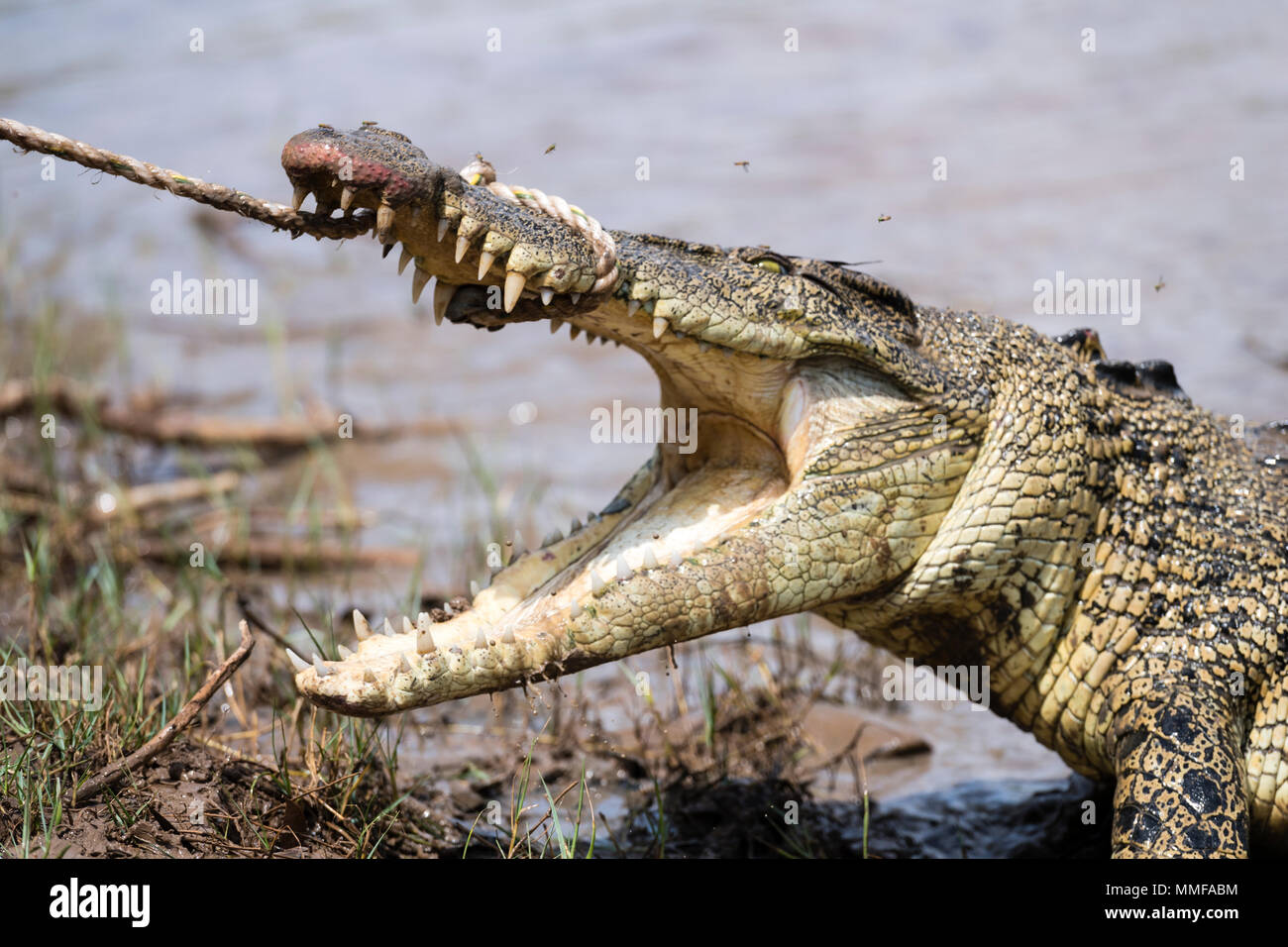 Restraining Stock Photos Images Alamy Cut Engineer Crocodile Safety Steel Genuine Leather Brown A Saltwater With Large Teeth And Jaws Fighting Rope Is Captured By Trappers