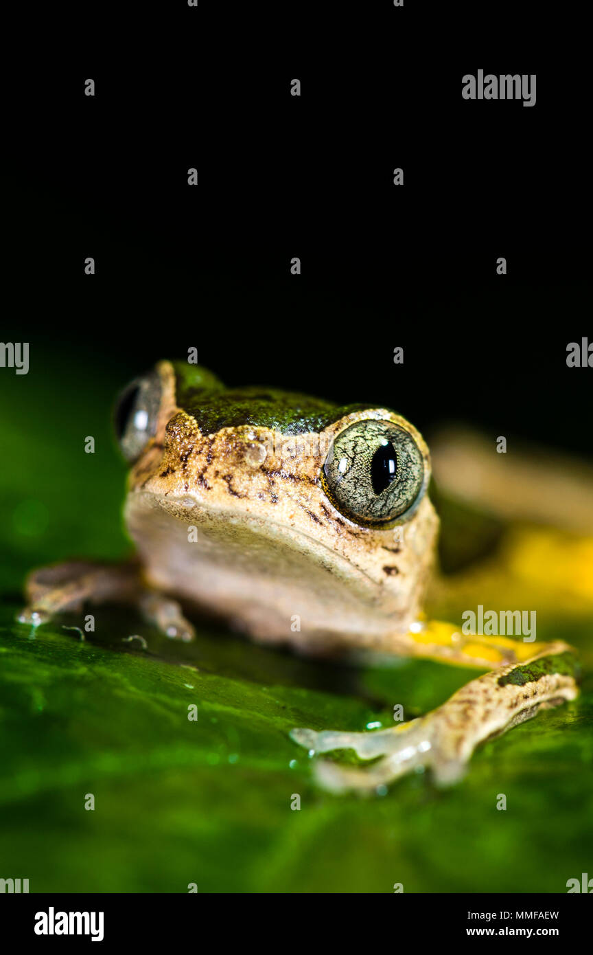 The bulbous veined eyes of a Jaguar Tree Frog at night. - Stock Image