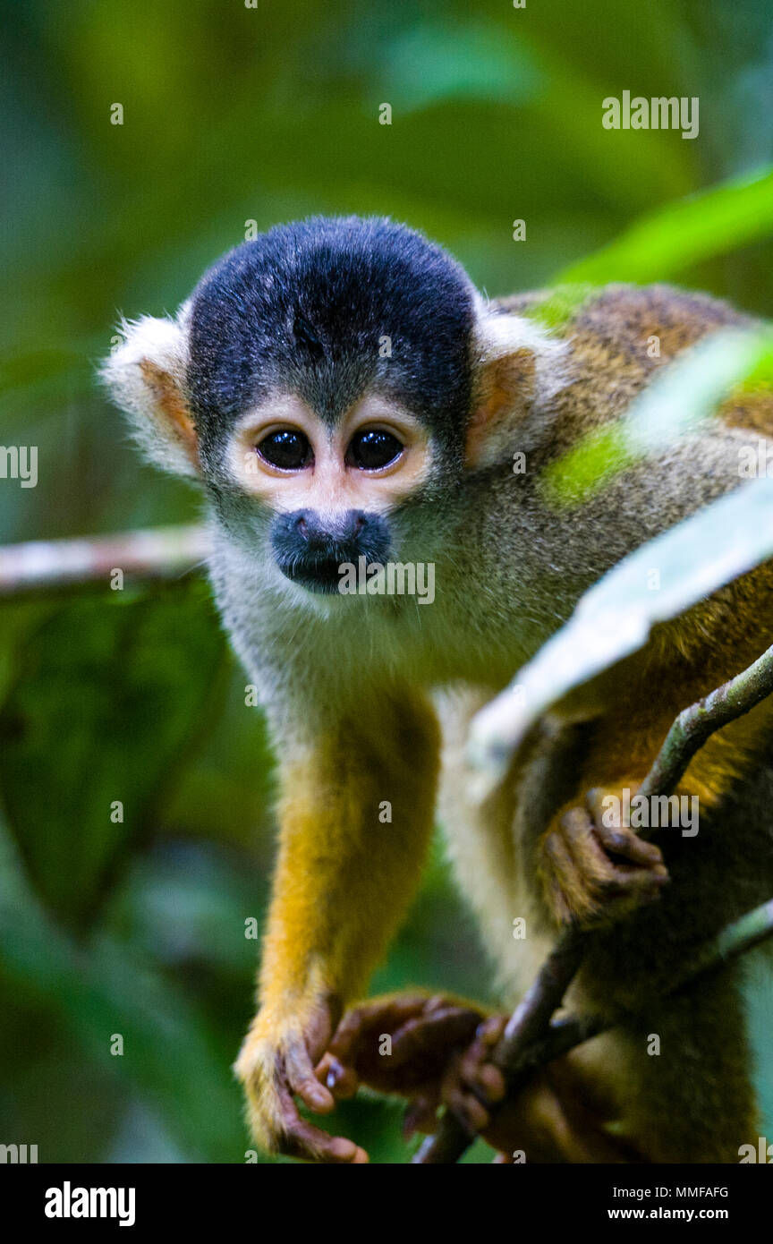 The inquisitive face of a Squirrel Monkey climbing through the middle story of the rainforest. - Stock Image