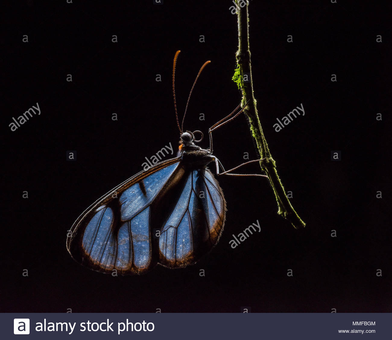 Glass Wing Butterfly Ithomidae Sleeping On A Branch At Night Stock