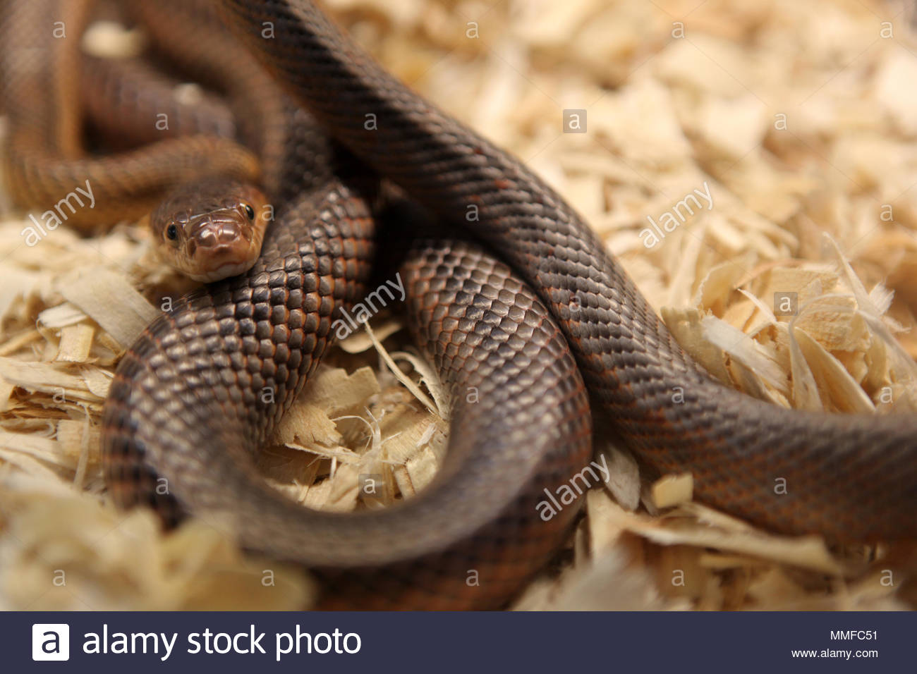 A rat snake at an exotic reptile breeders expo Stock Photo