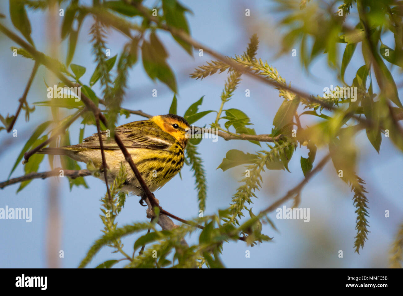 The colorful Cape May Warbler breeds from southwestern Northwest Territories, Manitoba, Ontario, and Quebec south to North Dakota, Michigan, northern  Stock Photo