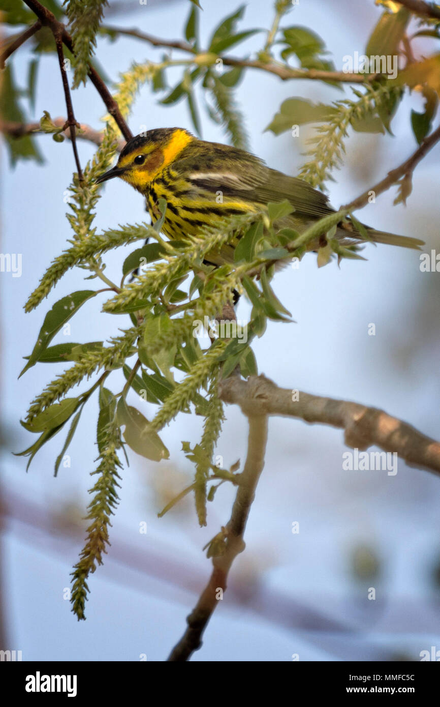 The colorful Cape May Warbler breeds from southwestern Northwest Territories, Manitoba, Ontario, and Quebec south to North Dakota and Michigan. Stock Photo