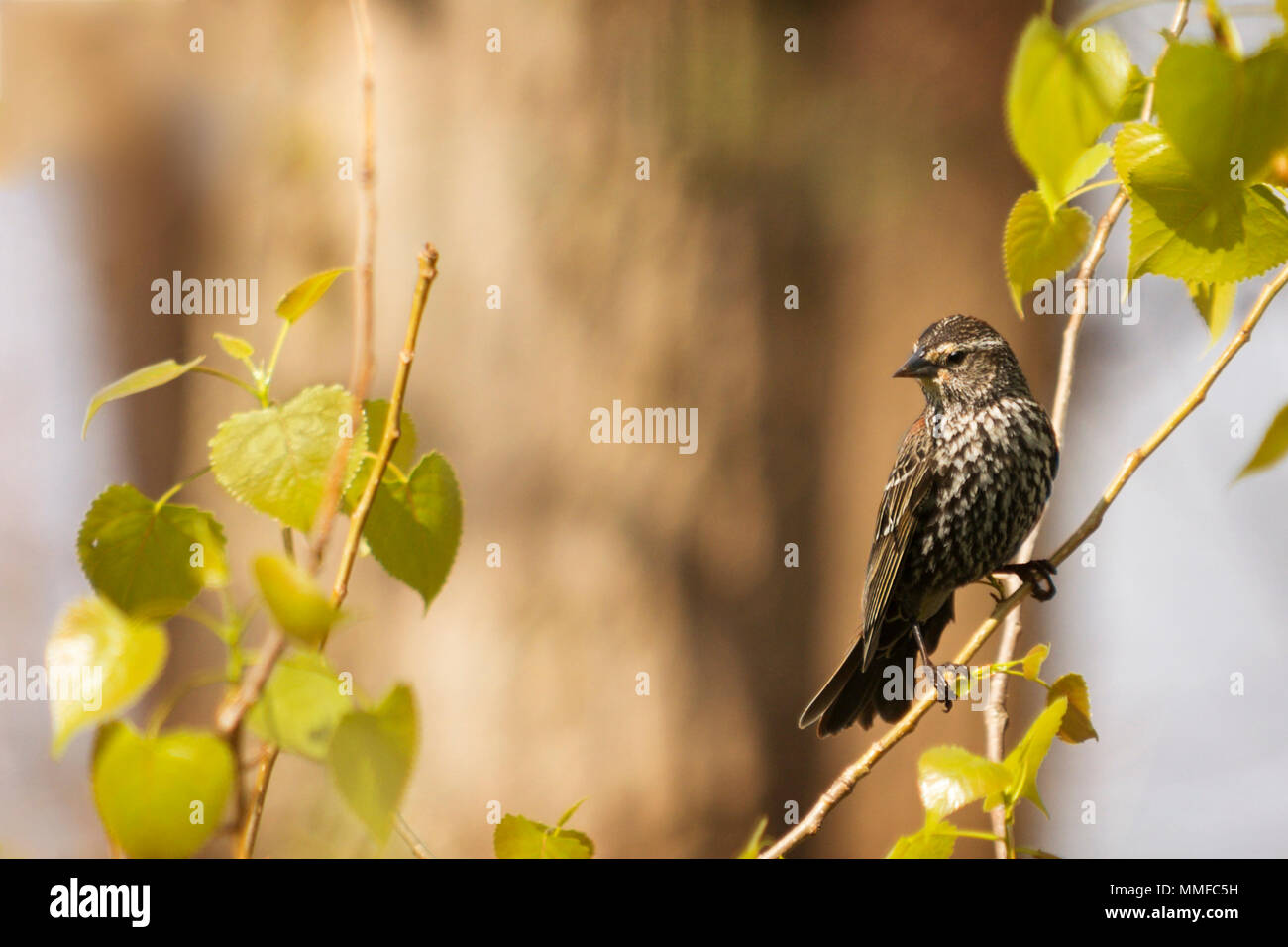 The Savannah Sparrow is a very variable species, with numerous subspecies, several of which have been split as separate species at various times. Stock Photo