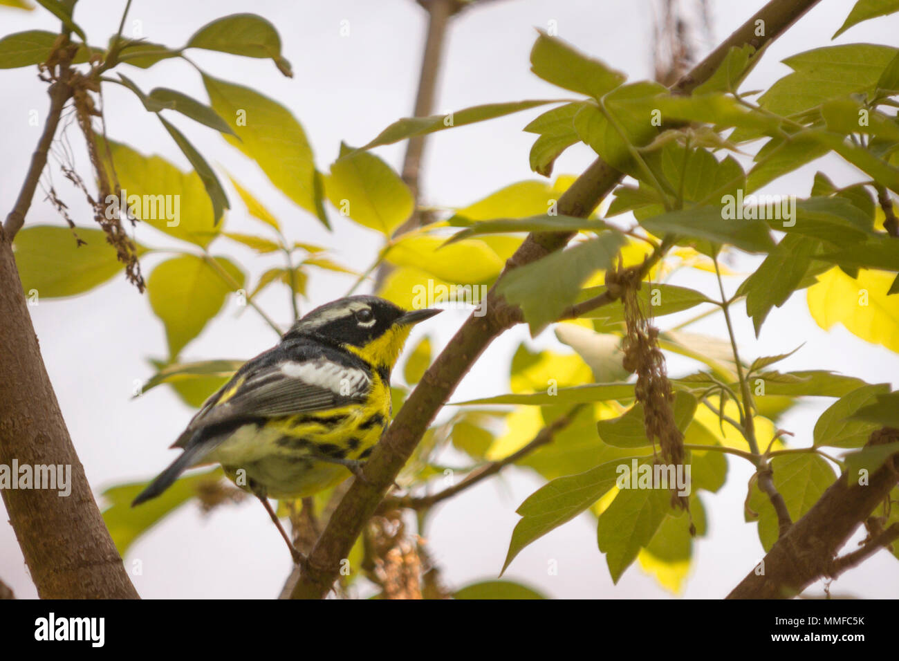 A colorful male Magnolia Warbler bird seen at Magee Marsh in Northwest Ohio during spring. Stock Photo