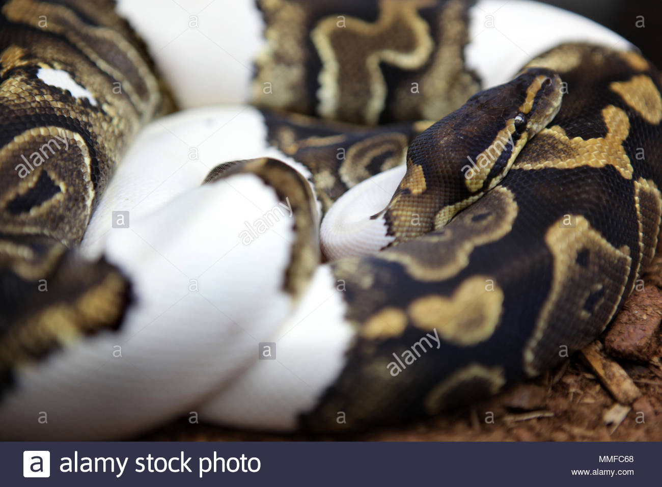 A specially bred Paradox ivory pied high ball python (Python