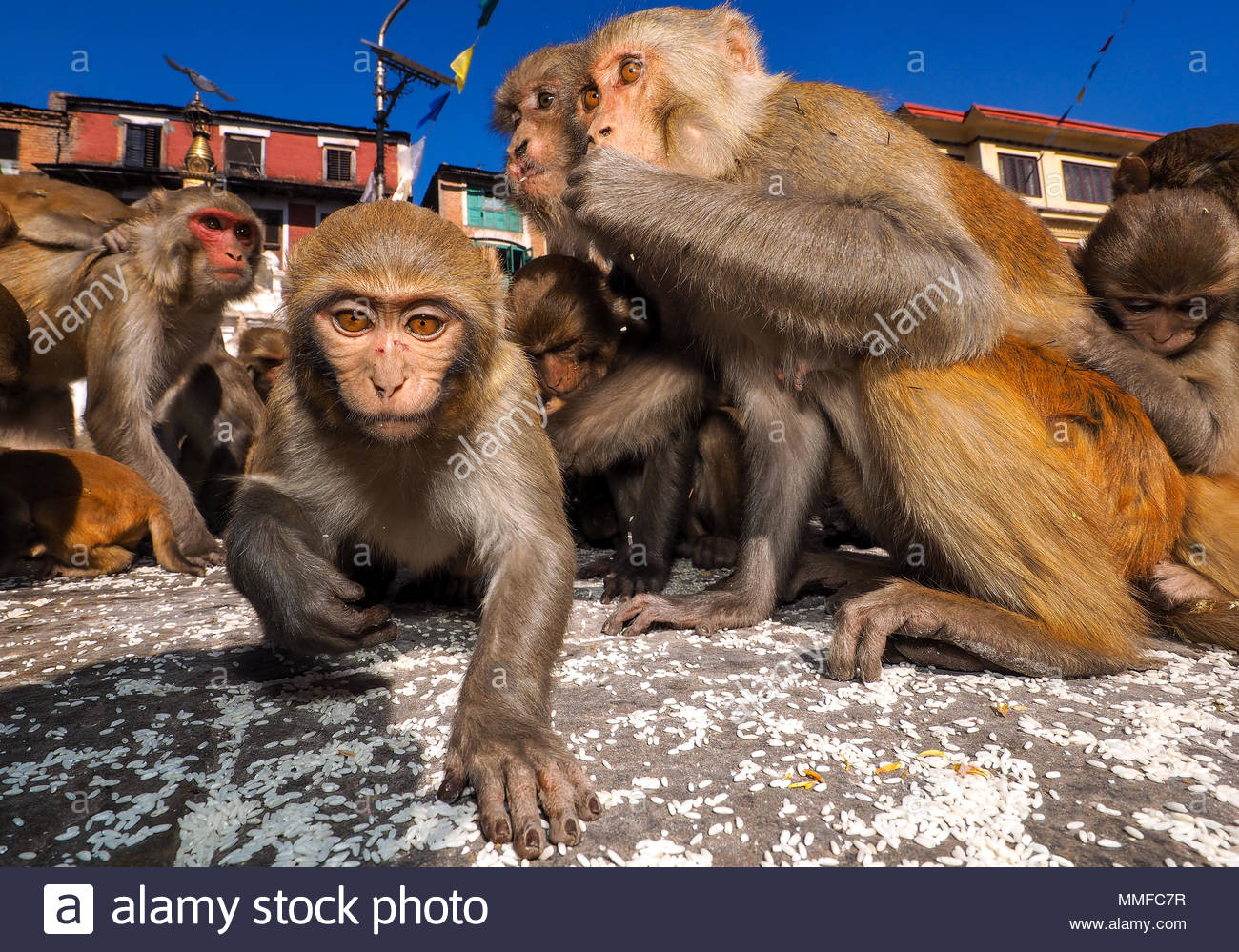 Rhesus macaques , Macaca mulatta, also called the Nazuri monkey eating rice in Monkey Temple. - Stock Image