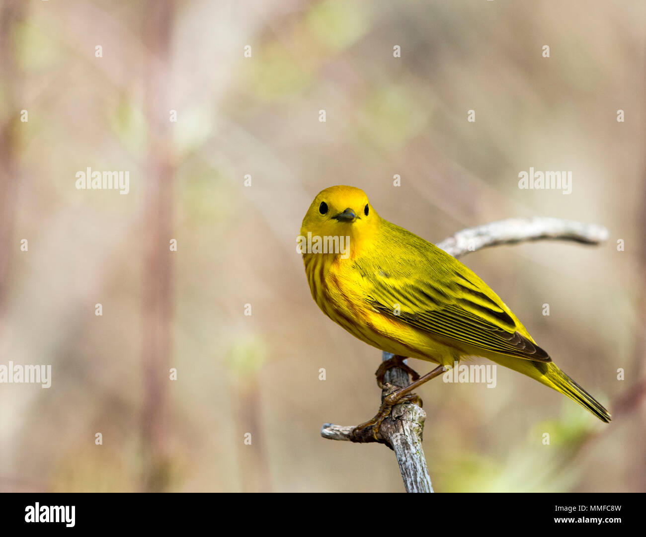 An American Yellow Warbler bird seen at Magee Marsh in Northwest Ohio during spring. - Stock Image