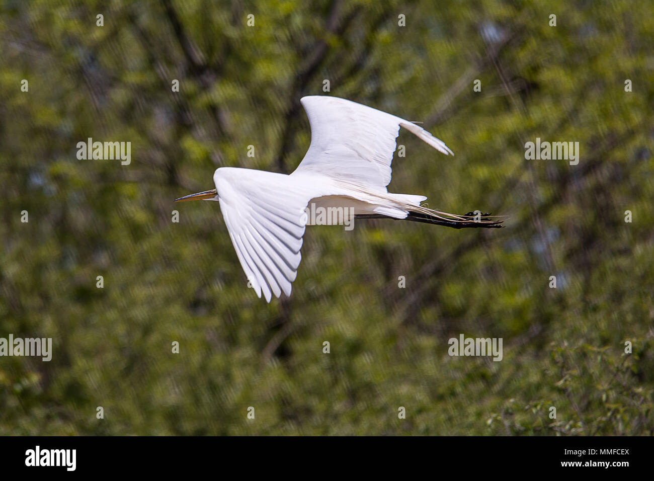 The elegant Great Egret is a dazzling sight in many a North American wetland. Slightly smaller and more svelte than a Great Blue Heron. - Stock Image