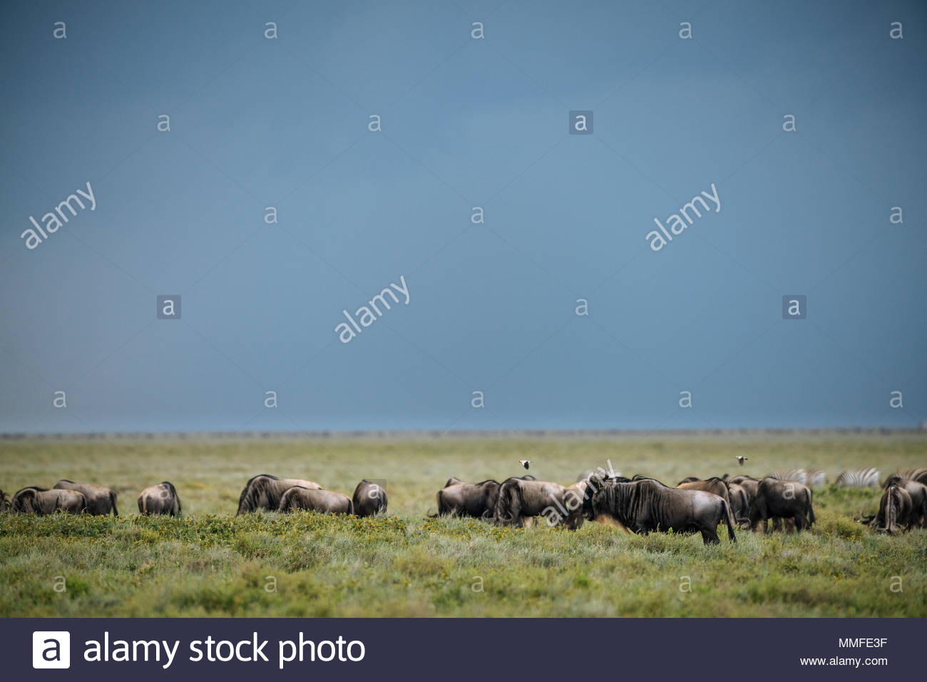 Blue wildebeests, Connochaetes taurinus, migrating in Southern Serengeti National Park. - Stock Image