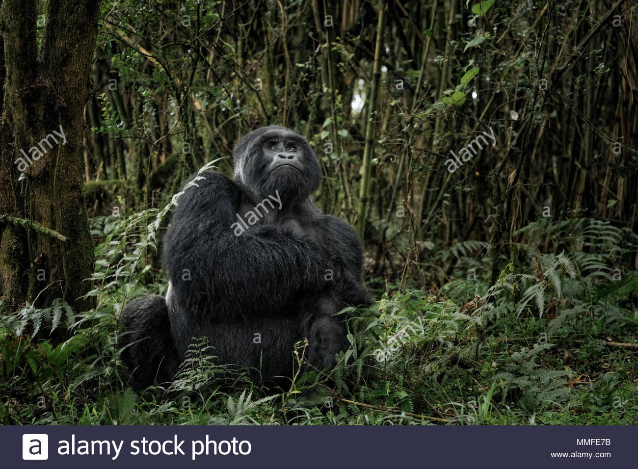 A male silverback mountain gorilla, Gorilla beringei beringei, sitting in the dense jungle. - Stock Image