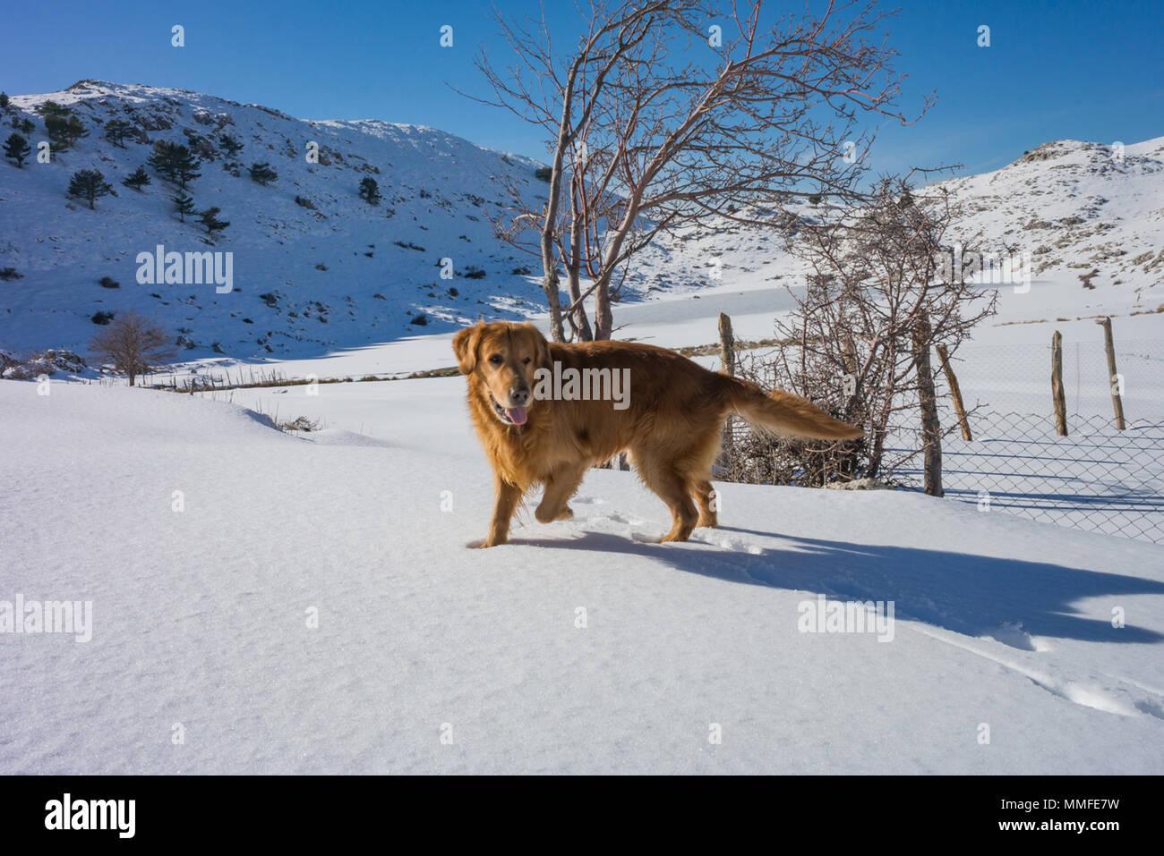 dog playing on snow, karda oynayan golden kopek - Stock Image