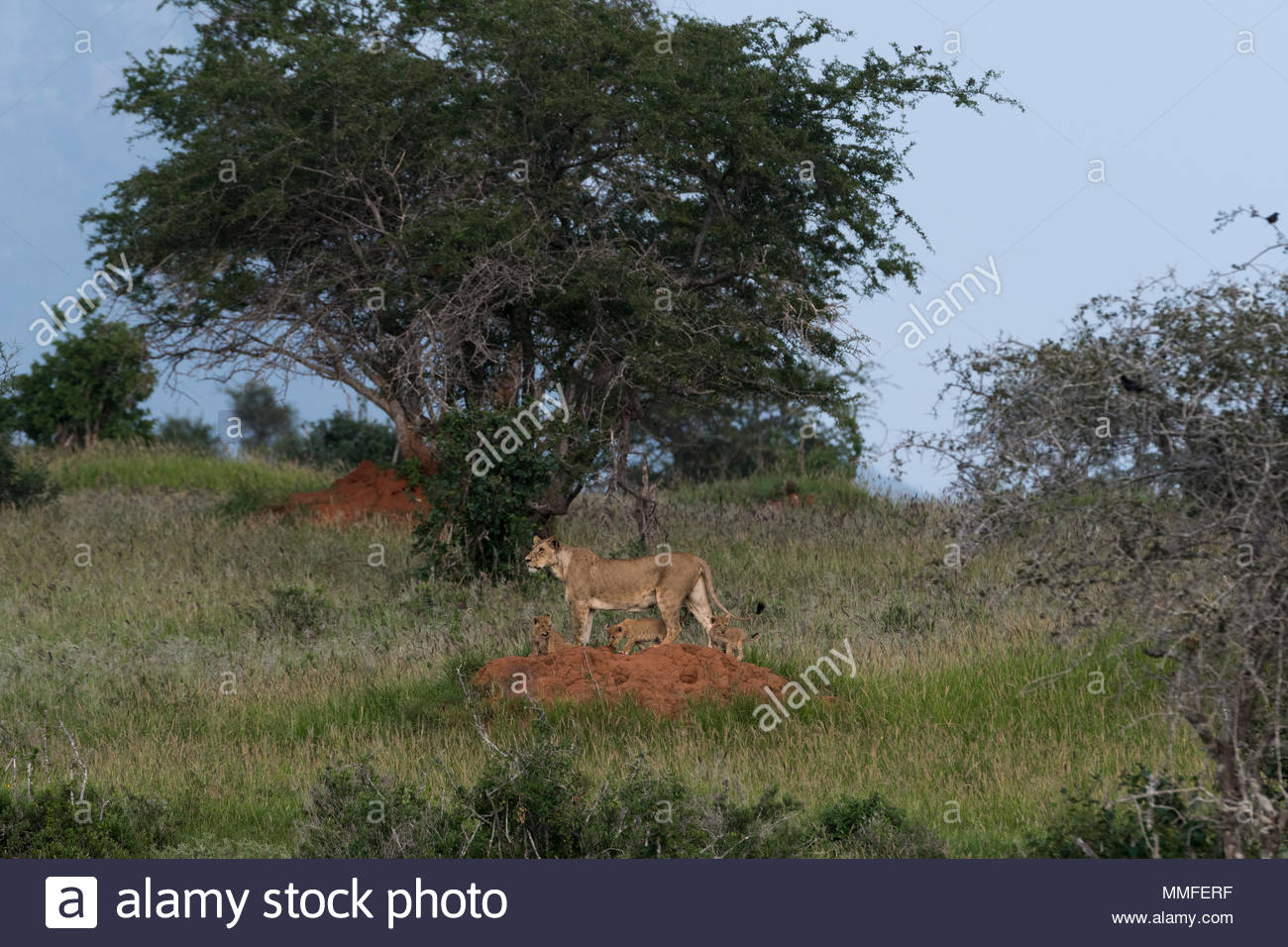 A lioness, Panthera leo, and its four cubs on a termite mound. Stock Photo