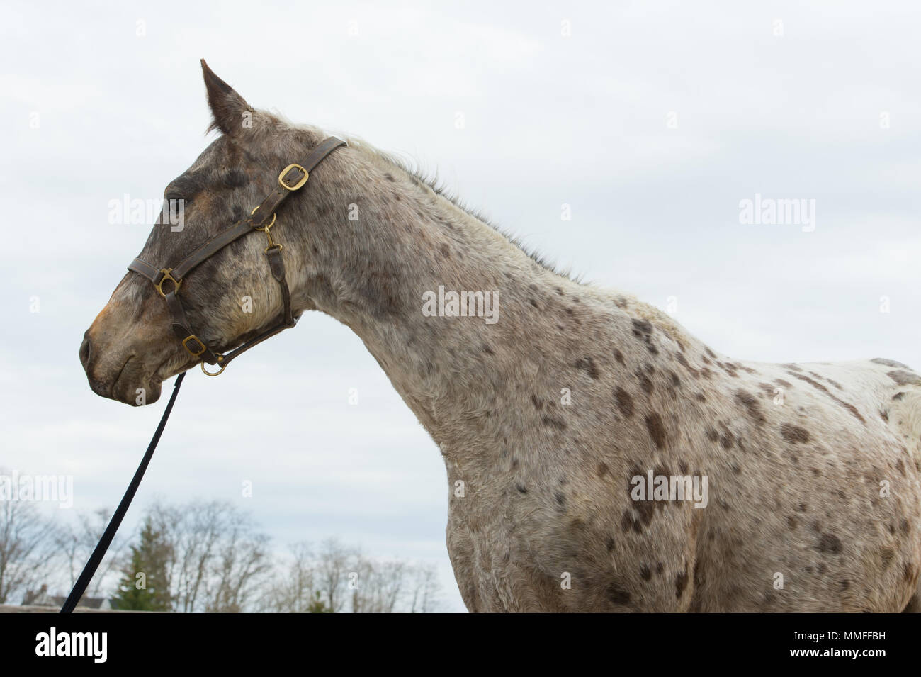 Head and shoulders of spotted appaloosa gelding - Stock Image