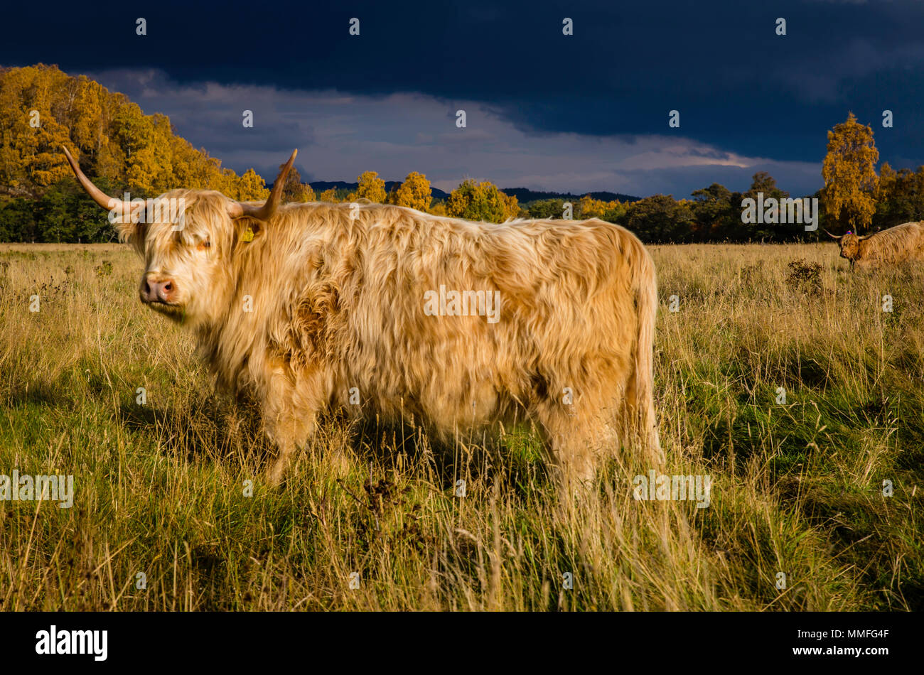The Highland Cow or coo as it is known is a large hairy and somewhat cute animal. Quite docile on a warmish day! - Stock Image