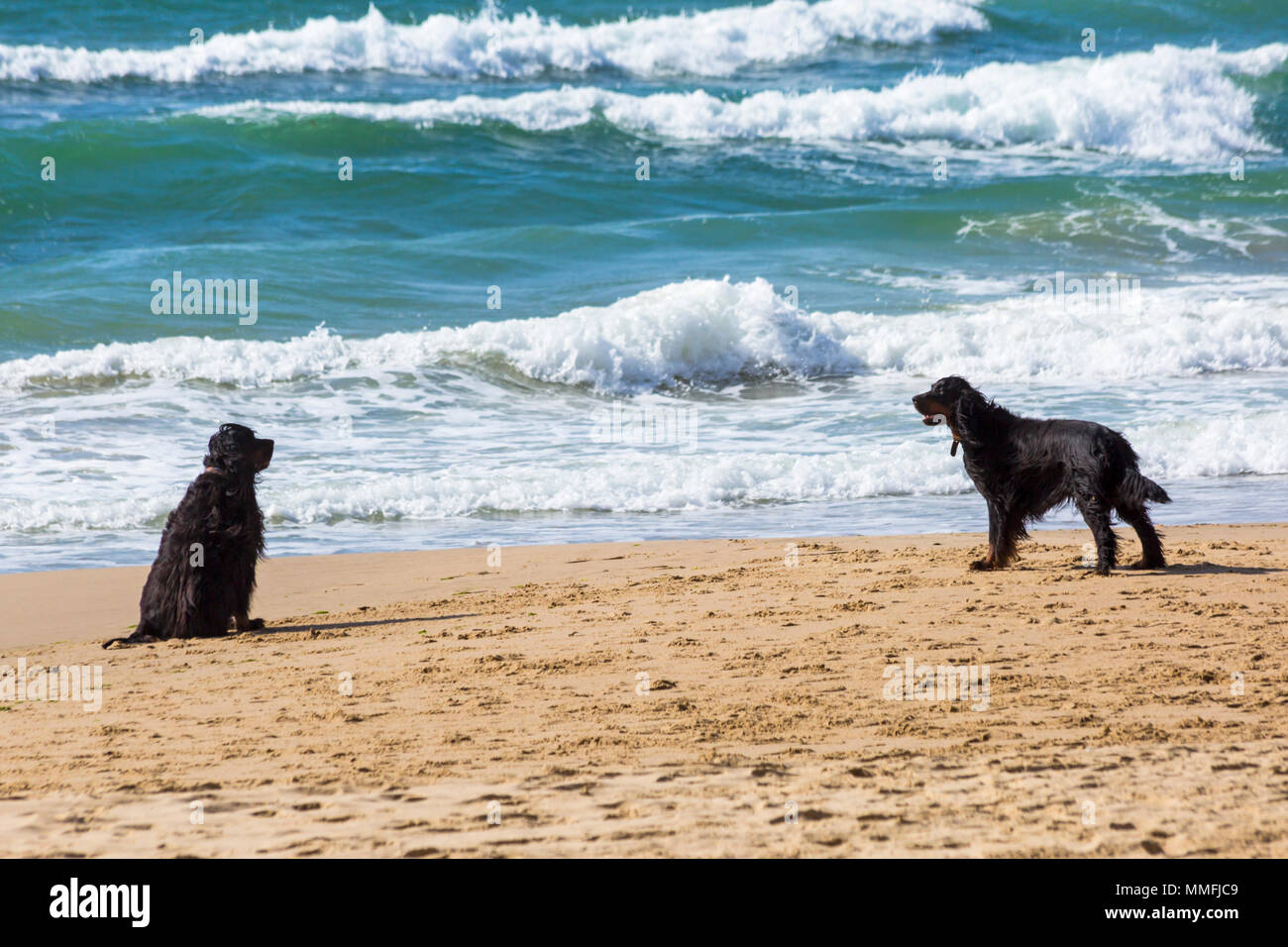 Poole, Dorset, UK. 11th May 2018. UK weather: breezy sunny day at Poole as Gordon Setter dogs discuss whether to go for a swim in the sea! Credit: Carolyn Jenkins/Alamy Live News - Stock Image