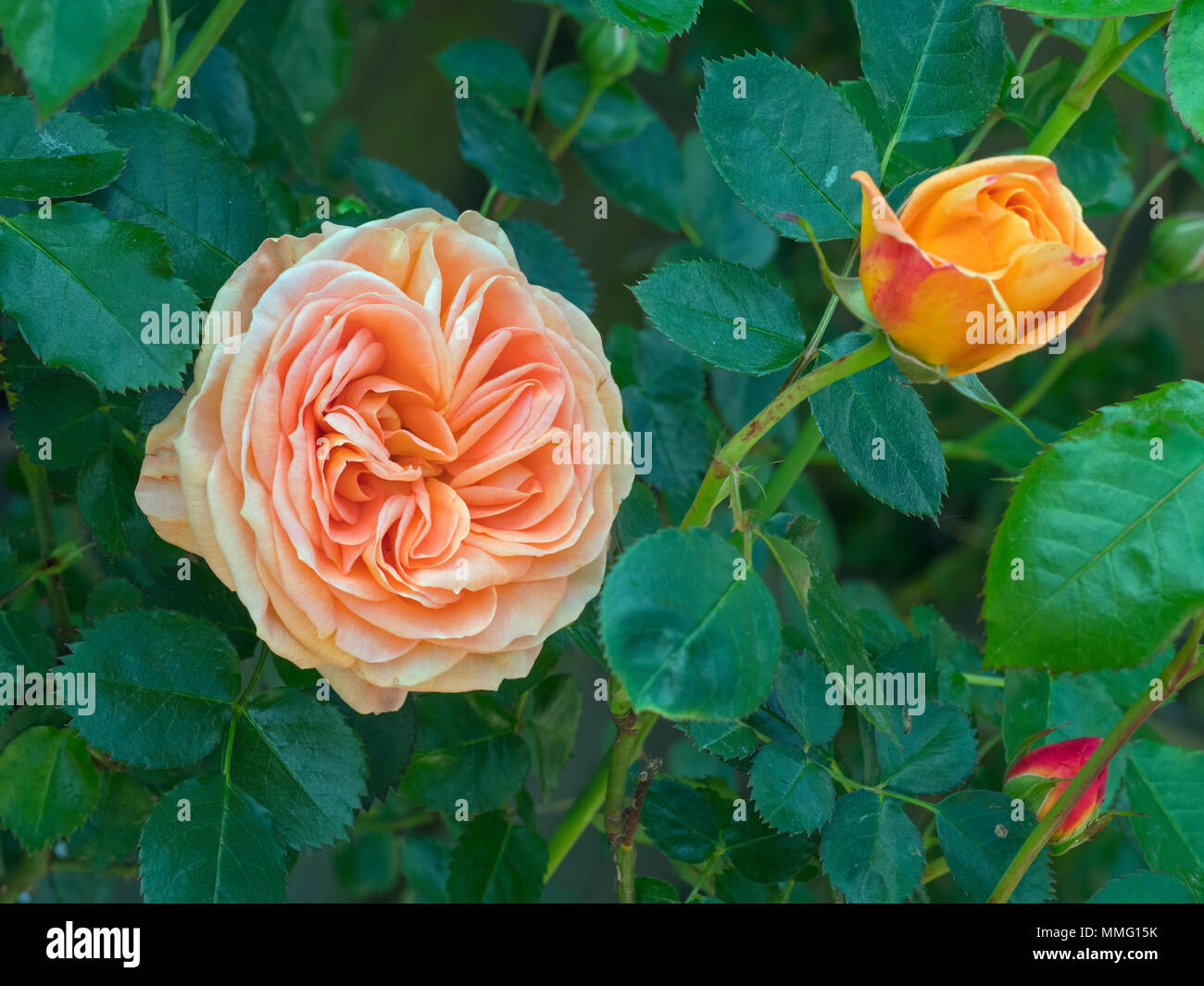 Rosa Doice Vita (Delbard Rose) - Stock Image
