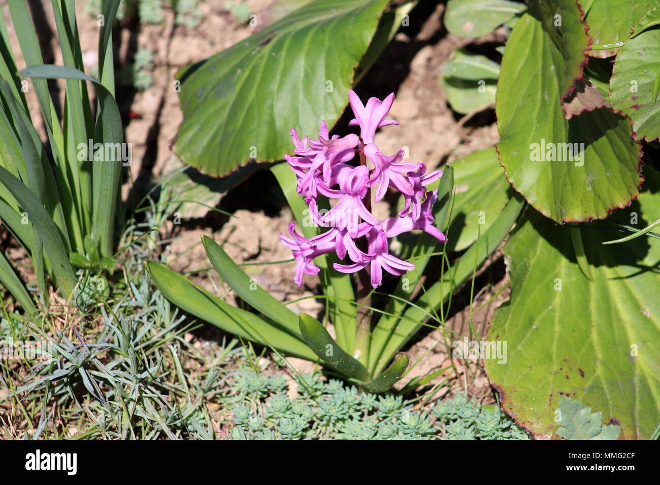Hyacinths or hyacinthus pink flowers starting to form spike or hyacinths or hyacinthus pink flowers starting to form spike or racemes of multiple small flowers with long pointy green leaves surrounded in garden wi mightylinksfo