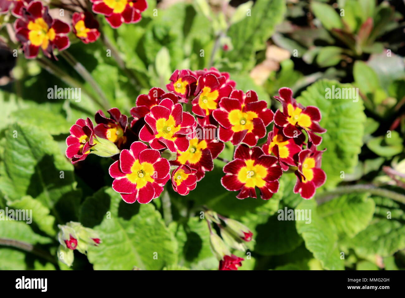 Primrose Or Primula Dark Red And Bright Yellow Spring Flowers