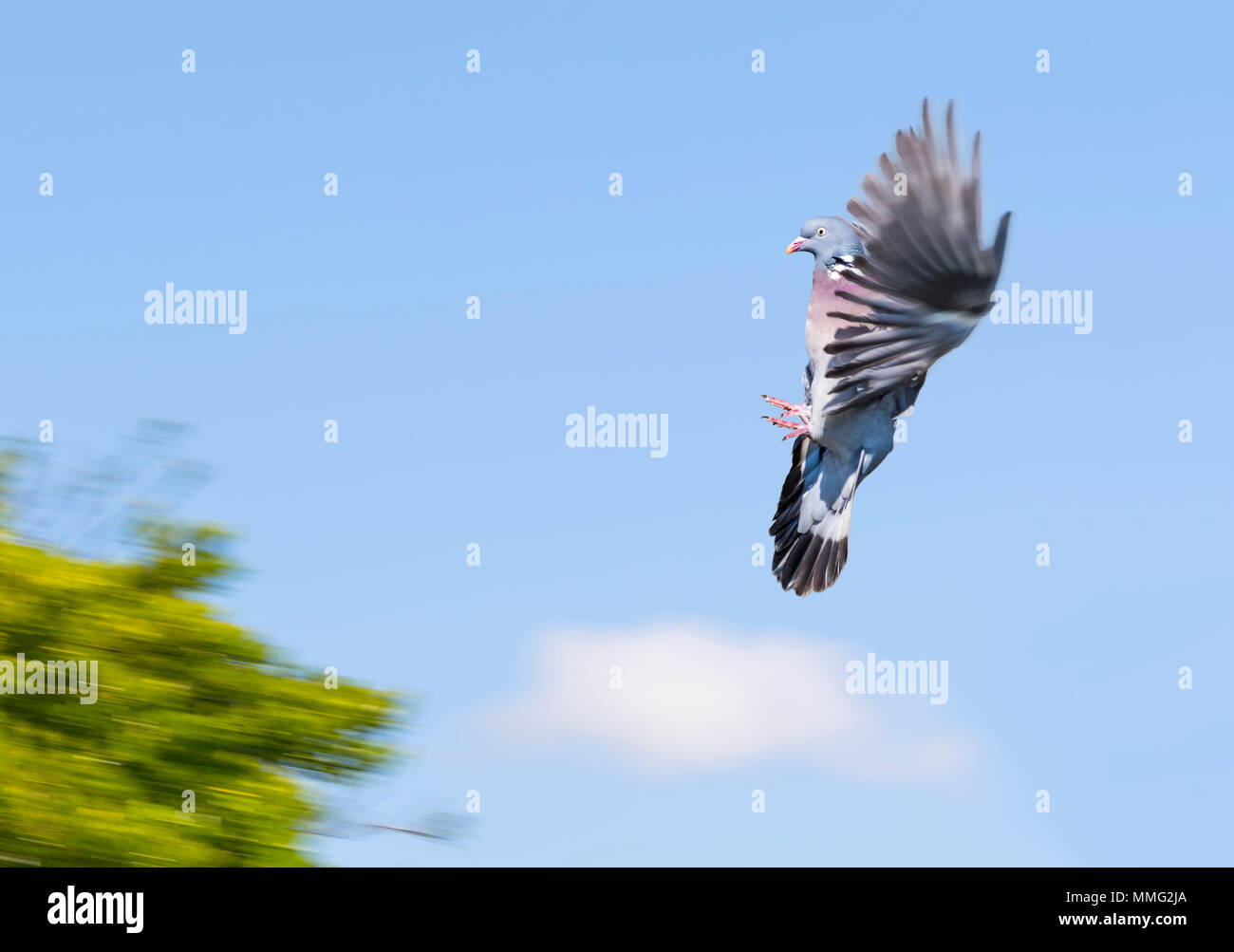 Wood Pigeon (Columba palumbus) with wings up frozen in the air against blue sky and coming into land on a tree, in the UK. - Stock Image