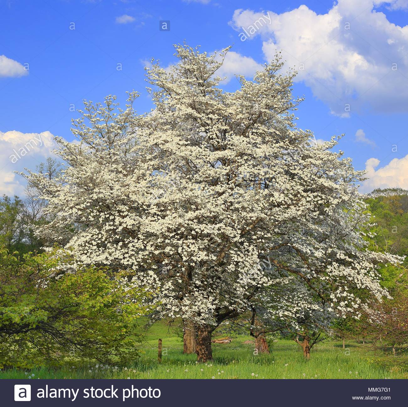 A magnificent flowering white dogwood tree cornus florida in a a magnificent flowering white dogwood tree cornus florida in a meadow at dawes arboretum ohio with a beautiful blue sky in the background mightylinksfo