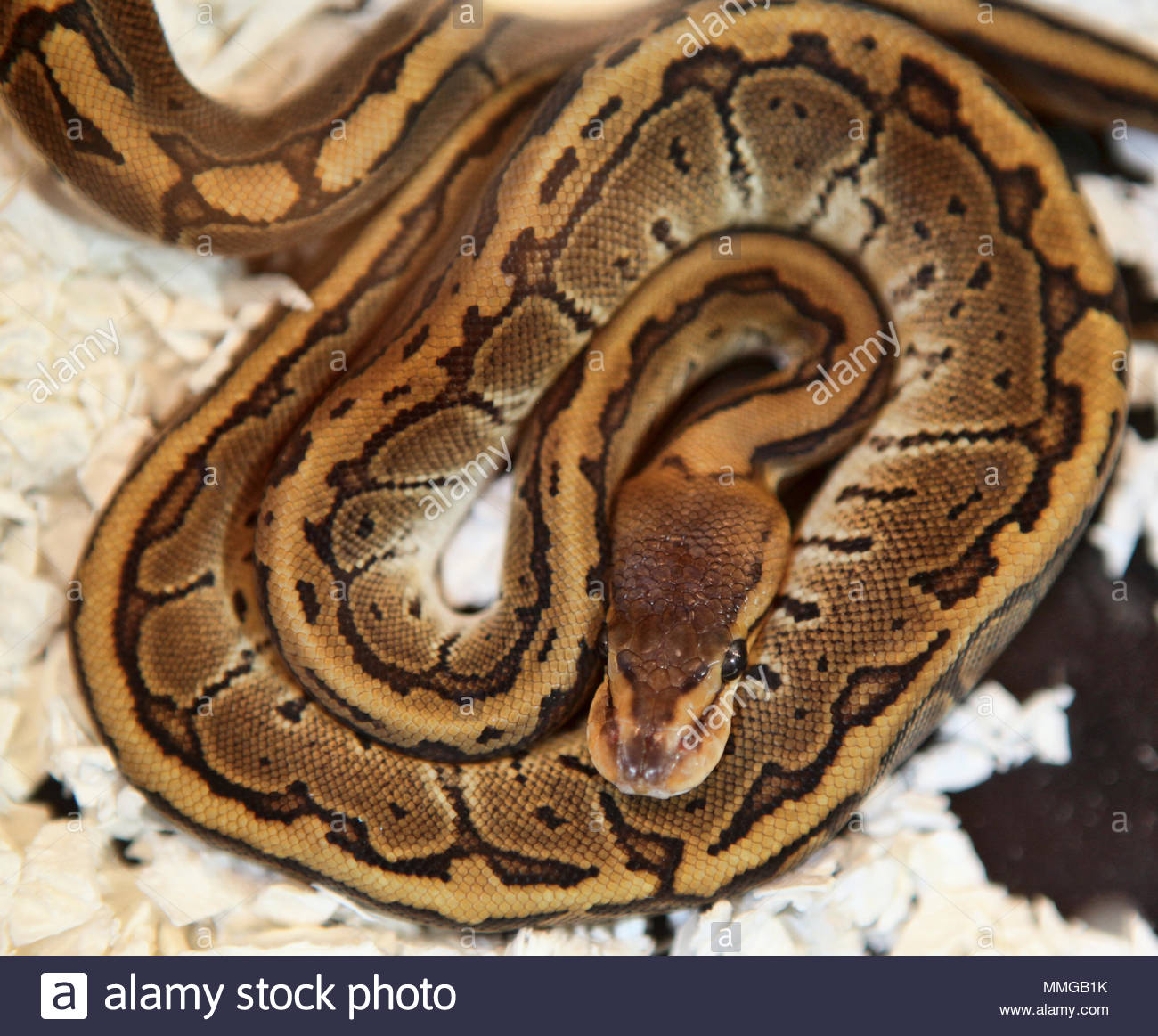 A Chocolate pin snake at an exotic reptile breeders expo Stock Photo