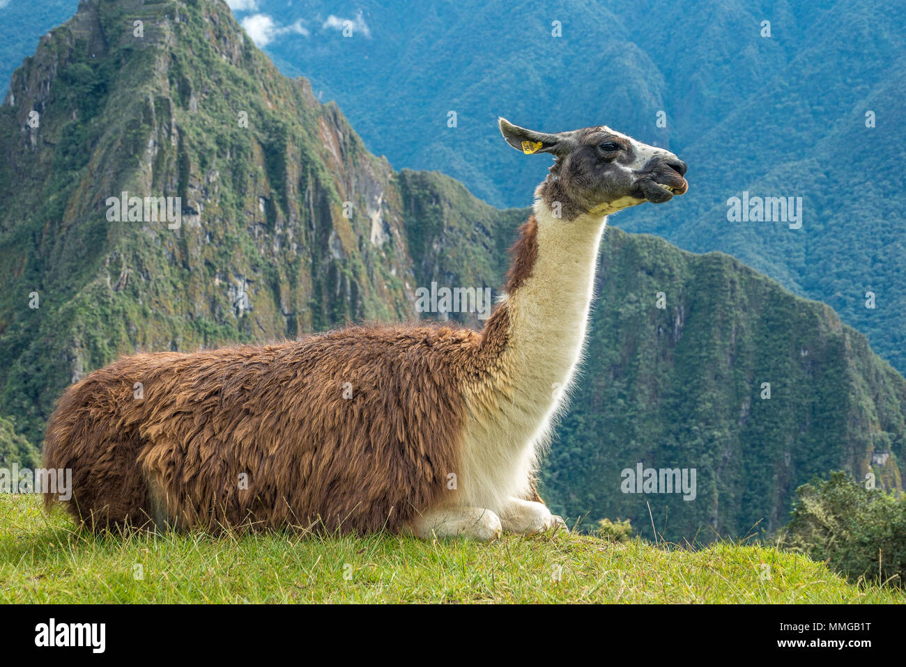 Llama in Machu Picchu with beautiful landscape behind - Stock Image