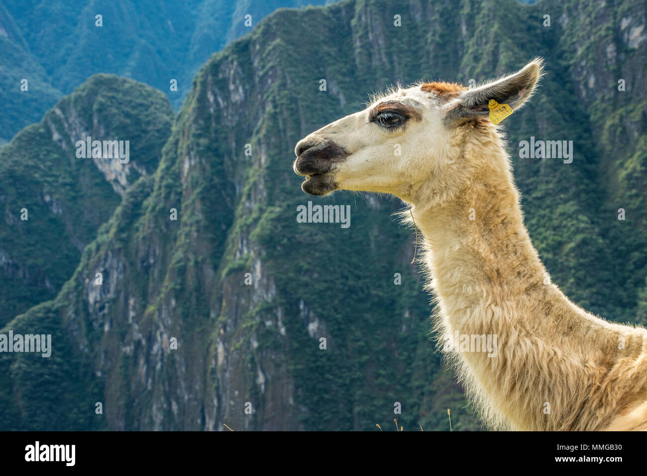 Llama in Machu Picchu with beautiful landscape behind - Stock Image