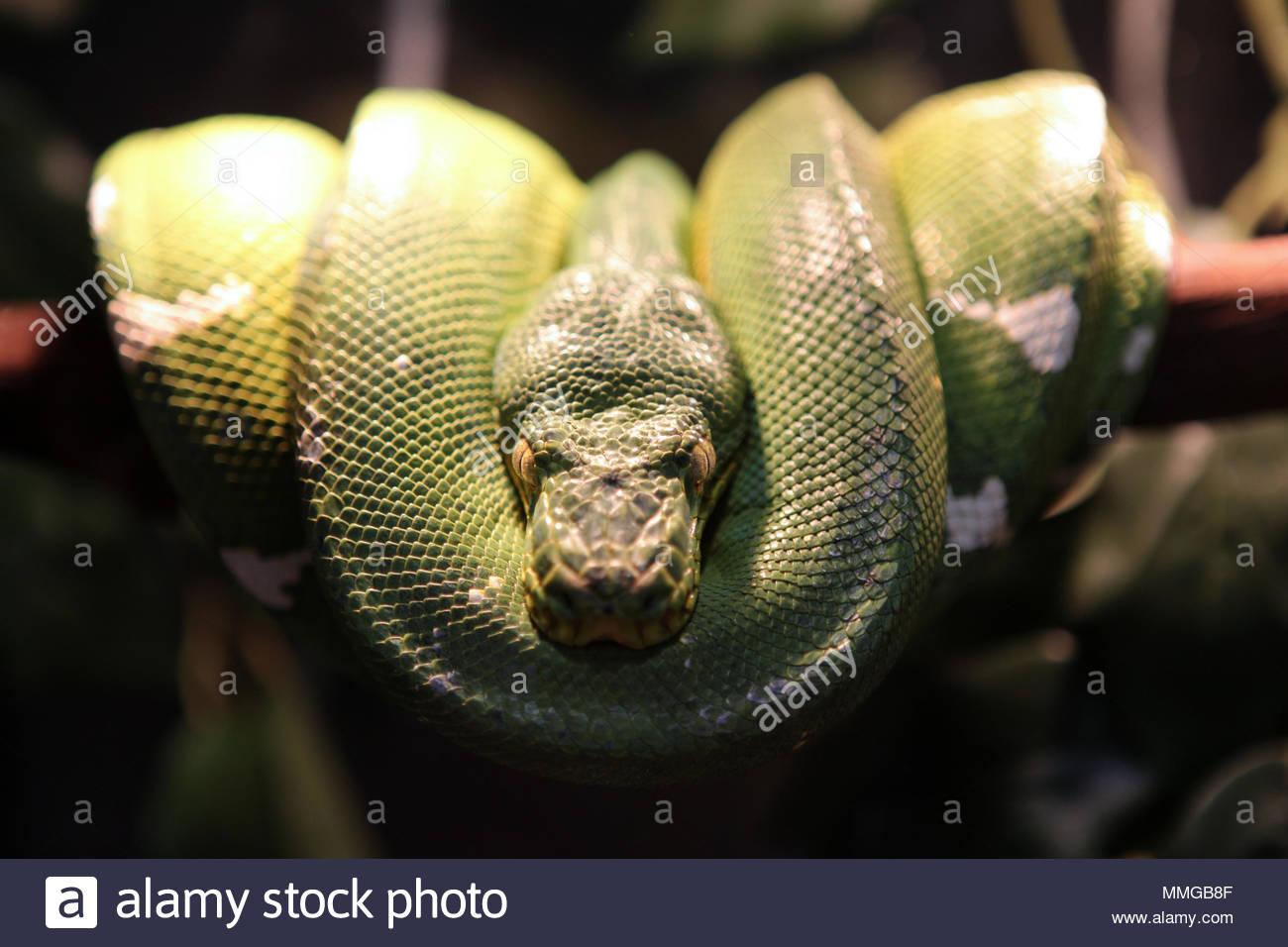 A female Emerald Tree Boa (Corallus caninus) at an exotic reptile
