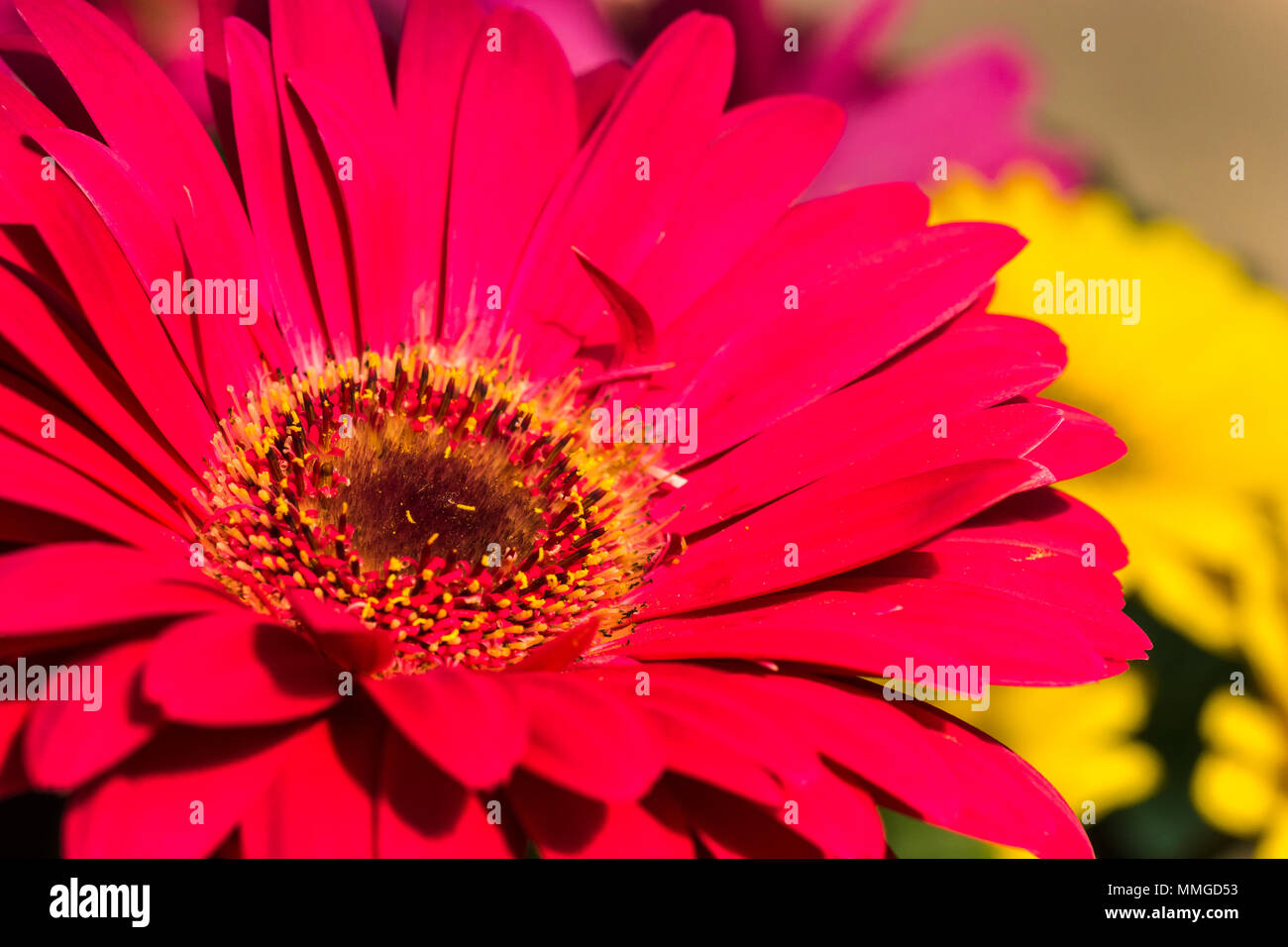 Close up view of common garden flower showing vivid and vibrant close up view of common garden flower showing vivid and vibrant color and flower parts izmirmasajfo