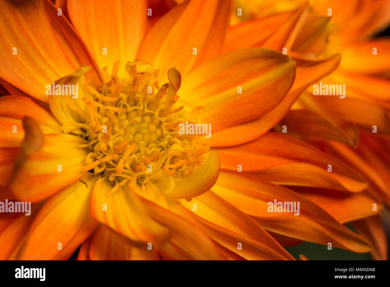 Close up view of common dahlia flower showing vibrant and vivid colors and flower plants - Stock Image