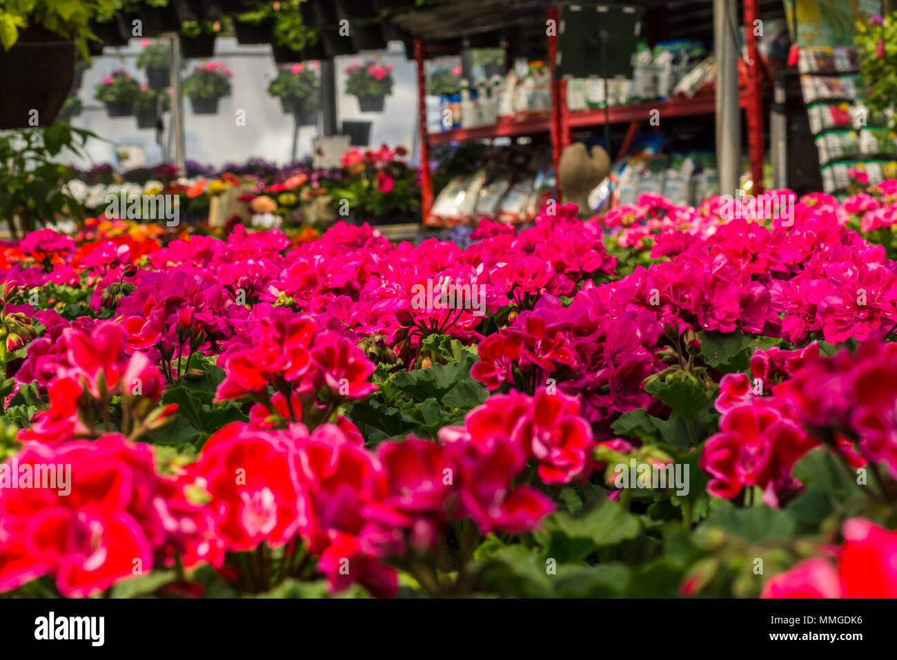 Common Garden Flowers Stock Photo 184758762 , Alamy