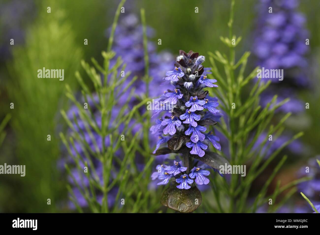 Blue Bugle, Ajuga reptans Stock Photo