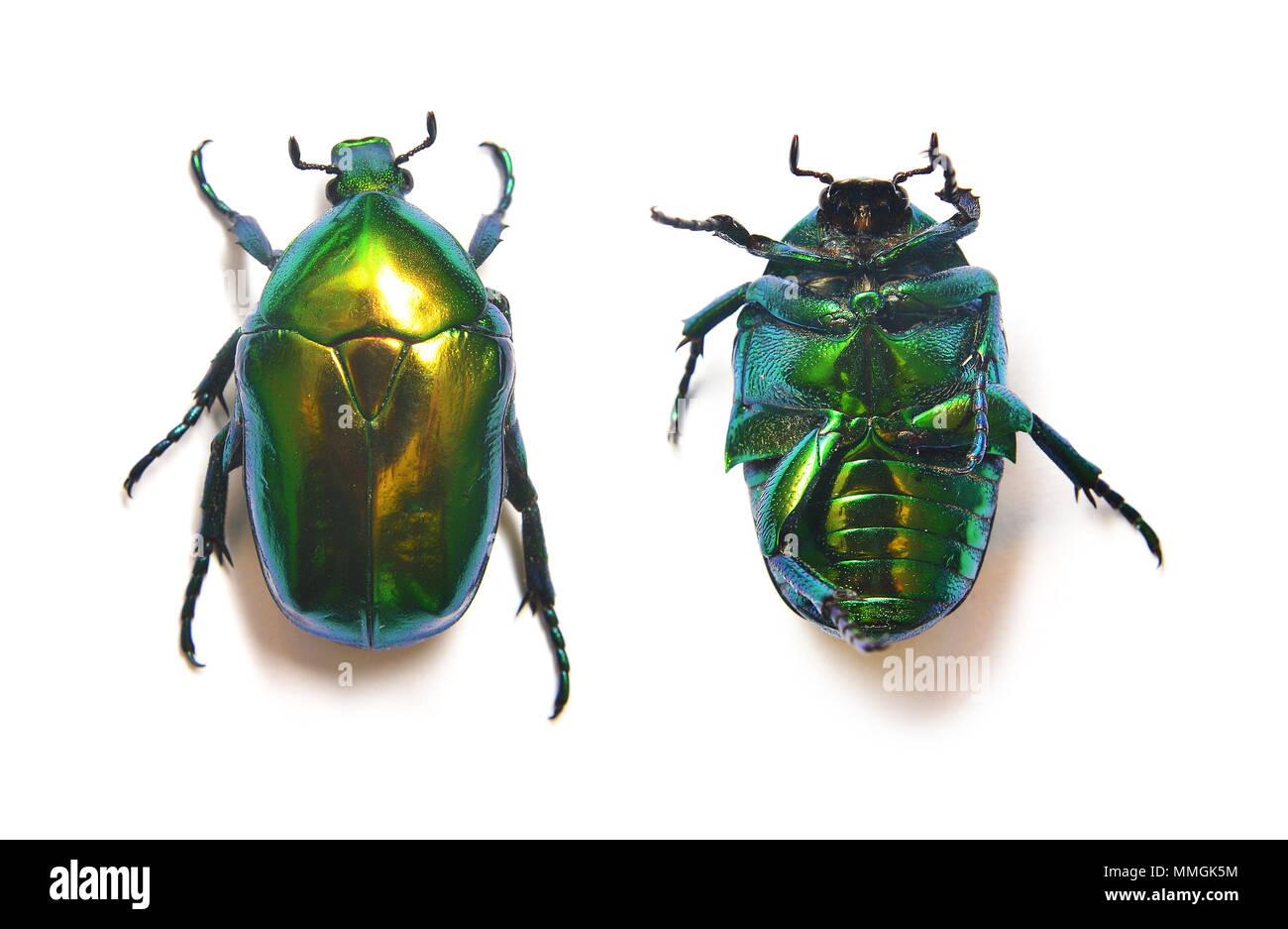 rose beetle, cetonia aurata isolated on white - Stock Image