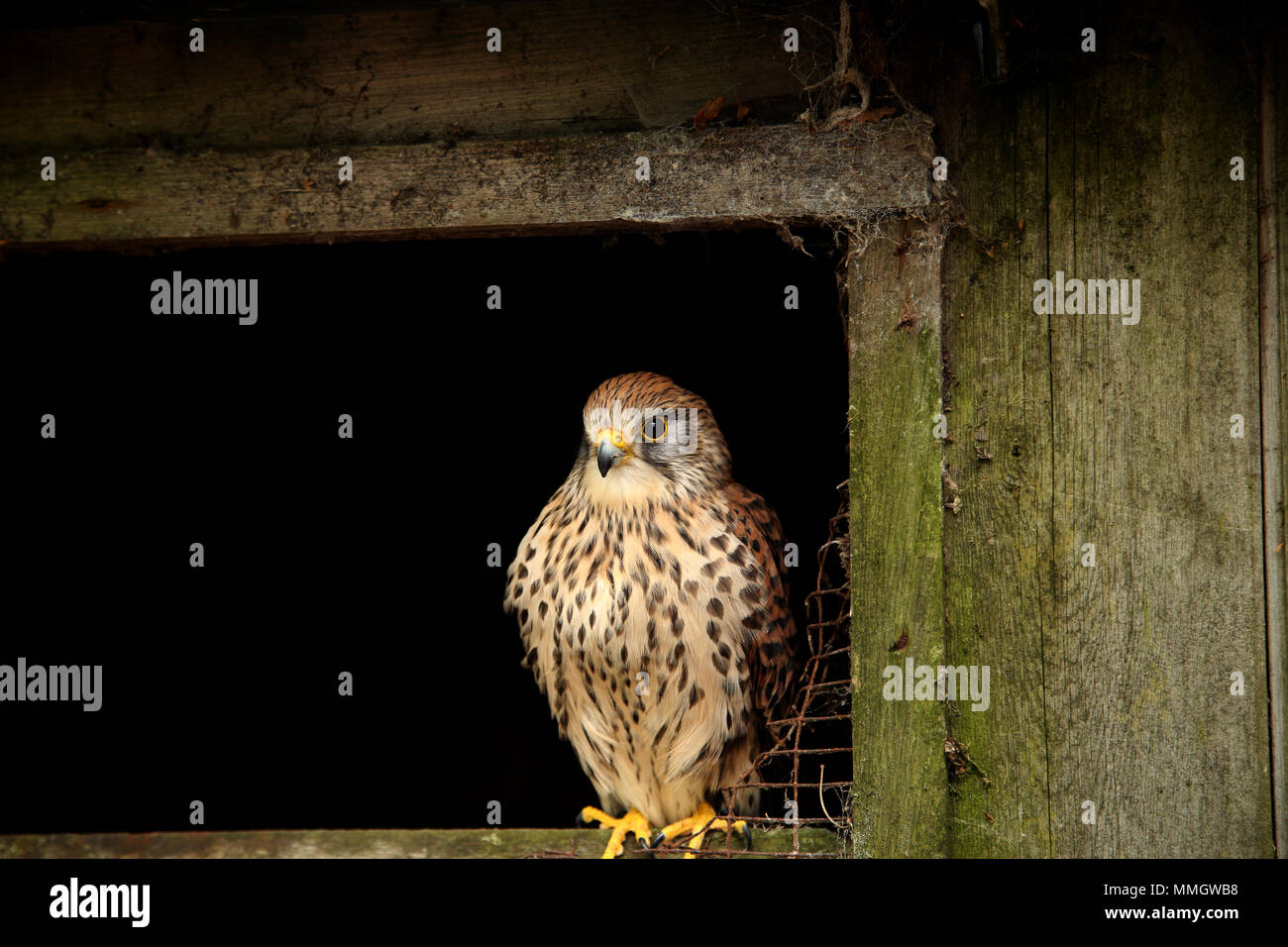 Female Eurasian Kestrel, Falco tinnunculus,  perched on the sill of an old barn shed - Stock Image