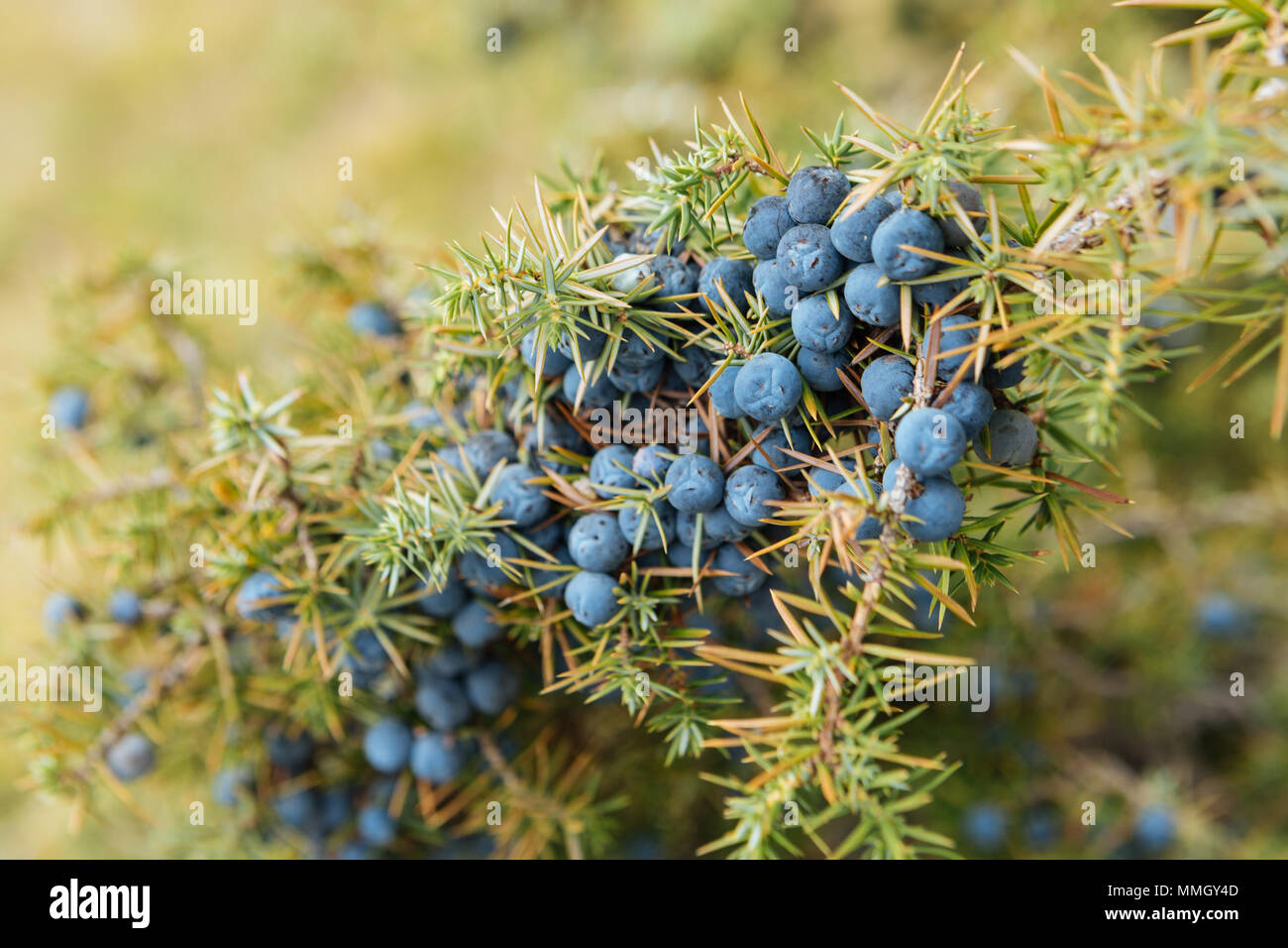 Close up of a spoon filled with wild juniper berries (Juniperus Communis) - Stock Image